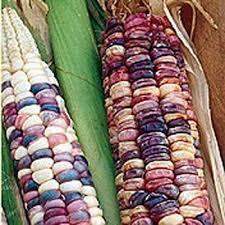 zea mays seeds multicolored corn seed