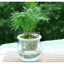 small potted plants purify the air dracaena seeds lucky bamboo small potted plants