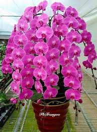 Orchid Plants 523 Best Orchids Images On Pinterest Plants Orchid Care And Flowers
