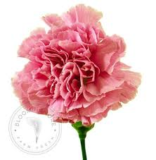 bulk carnations wholesale light pink carnations 50 200 stems free shipping