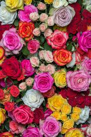 multicolored roses multicolored roses stock photo image of backgrounds 44855856