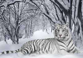 siberian tiger canvas buy siberian tiger canvas