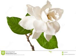 gardenia bloom stock photography image 1947352