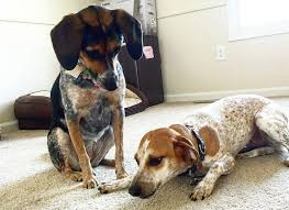 bluetick coonhound in tennessee treeing walker coonhound dog breed information pictures