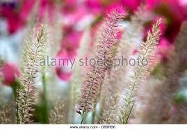 ornamental grass stock photos ornamental grass stock images alamy