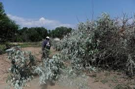 westminster continues battle against invasive russian olive trees