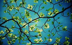 dogwood tree desktop hd flower wallpapers dogwood tree desktop