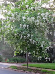 native kentucky plants native plants cladrastis kentukea u2013 kentucky yellowwood miss
