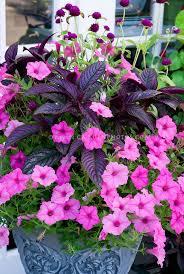 best 25 petunia flower ideas on pinterest petunias deck flower