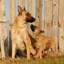 belgian shepherd kennels 25 cute mama dogs and their puppies for mother u0027s day pics dogtime