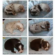 2 australian shepherds jewel u0026 havoc puppies 2 weeks old rival australian shepherds
