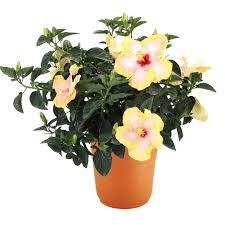 Braided Hibiscus Tree Pictures by Shop 2 Gallon Mixed Hibiscus Flowering Shrub At Lowes Com
