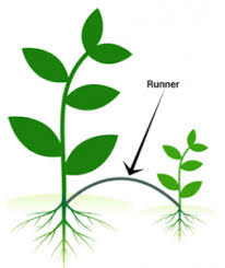 Vegetative Propagation By Roots - asexual reproduction in plants examples u0026 vegetative propogation