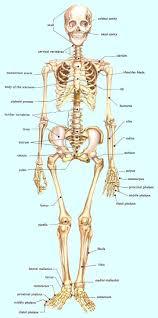 Human Anatomy Skull Bones Anatomical Diagram Of Human Skull Bones Human Anatomy Chart