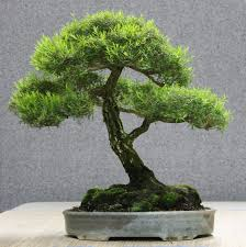 australian native plants guide successfully growing australian native bonsai u2013 sydney city bonsai