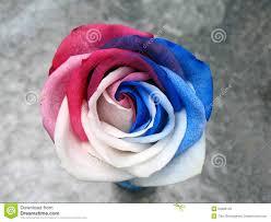white and blue roses white blue stock photo image 54806149