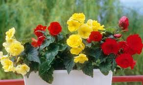 begonia flower going big on begonias alan titchmarsh columnists comment
