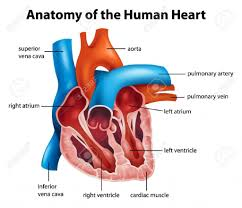 anatomy heart valves gallery learn human anatomy image