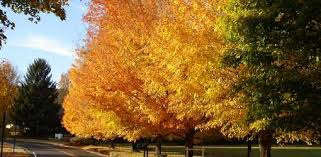 trees plant colorful fall foliage today u0027s homeowner