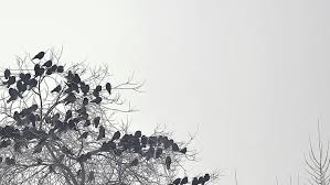 flock of birds taking from a tree flock of crows black
