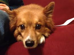 american eskimo dog forum tom bihn forum pets