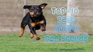 top10 best guard breeds protect your family