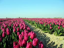 nature wallpaper hd tulip field wallpapers wide at bozhuwallpaper