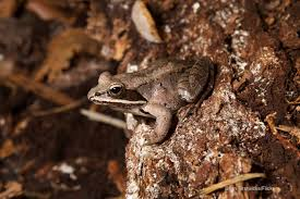frogs that thrive and dive in vernal pools the national wildlife