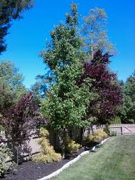 the bradford pear a gorgeous landscaping tree all about the house