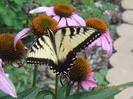 native plants for butterfly gardening benton soil u0026 water a9e433be6d91a269148496d2bdaab95bb06dc948 jpg