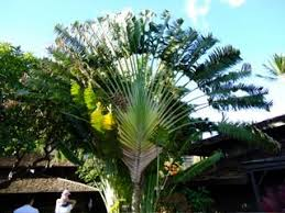 ornamental banana tree ghumakkar inspiring travel experiences