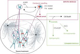 assessment of an rna interference screen derived mitotic and