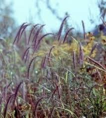 116 best ornamental grass images on grass seed