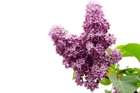 the branch of a pink lilac free stock photo public domain pictures