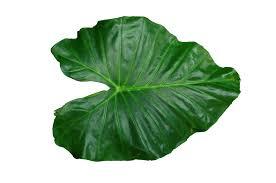 leaf png images transparent free download pngmart com