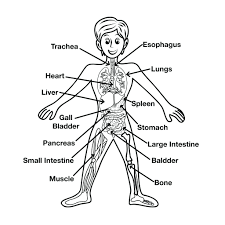 Free Printable Anatomy Coloring Pages Gallery Human Anatomy Learning Jackie Robinson Coloring Page