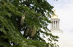 kentucky native plants neat plant alert u2013 kentucky coffee tree near little rock capitol