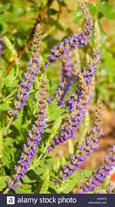 Salvia Flower Purple Salvia Flower Spikes In Garden Stock Photo Royalty Free
