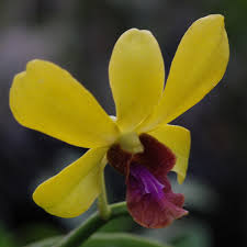 yellow orchids den thongchai gold blooming am thai orchids shop