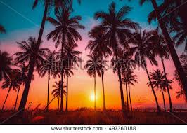 silhouette coconut palm trees on stock photo 497360188