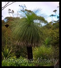 native plant nursery sydney august 2015 special 25 off grass trees wariapendi nursery