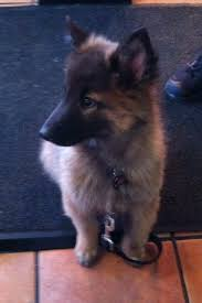 belgian sheepdog breeders near me 44 best puppy hungary images on pinterest animals belgian