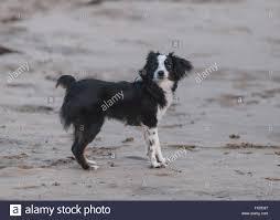 black and white toy dog stock photos u0026 black and white toy dog