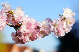 cherry blossom tree free images tree branch fruit flower petal bloom food