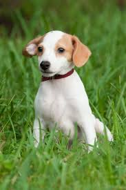 american eskimo dog jack russell mix palm harbor fl jack russell terrier meet chip a dog for adoption