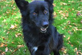 belgian sheepdog mix adopt me annie female belgian sheepdog collie mix for sale in