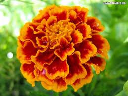 yellow flower tattoos marigold flower free orange yellow red marigold flower pictures