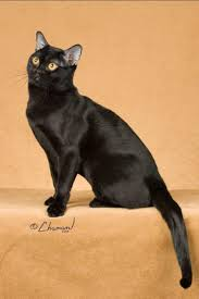 692 best cat breeds images on pinterest beautiful cats kitty