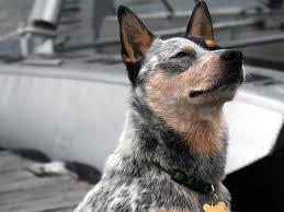australian shepherd wolf mix view topic s a v e уσυя ɽɇ u20b3 u20aeⱨ