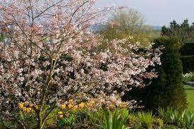 trees for smaller gardens rhs gardening